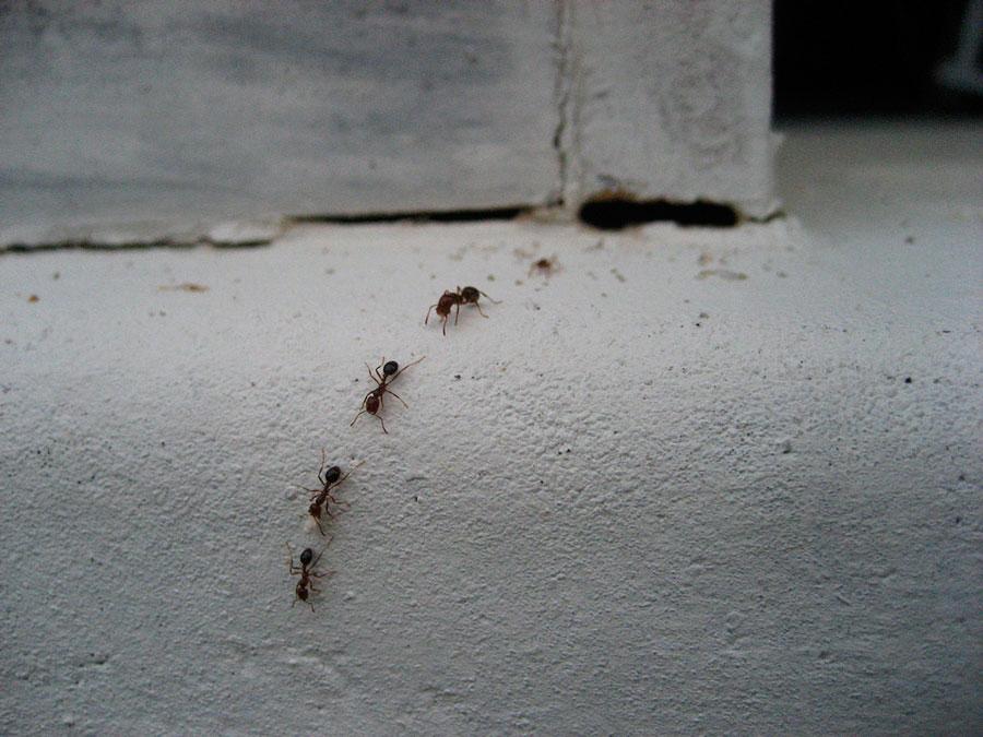 Рыжие домашние муравьи в квартире: как избавиться от паразита?
