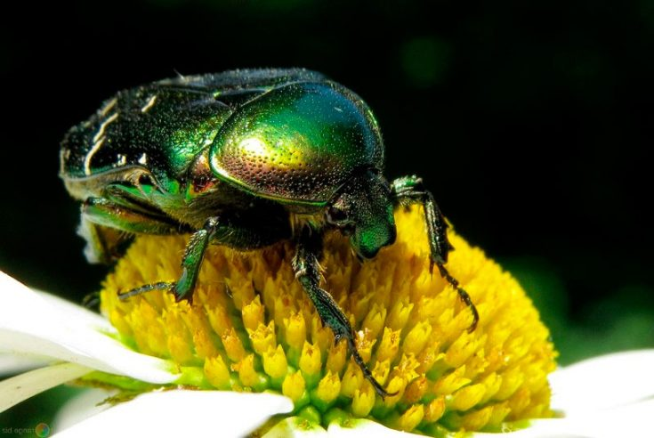 Борьба с личинками майского жука народными средствами