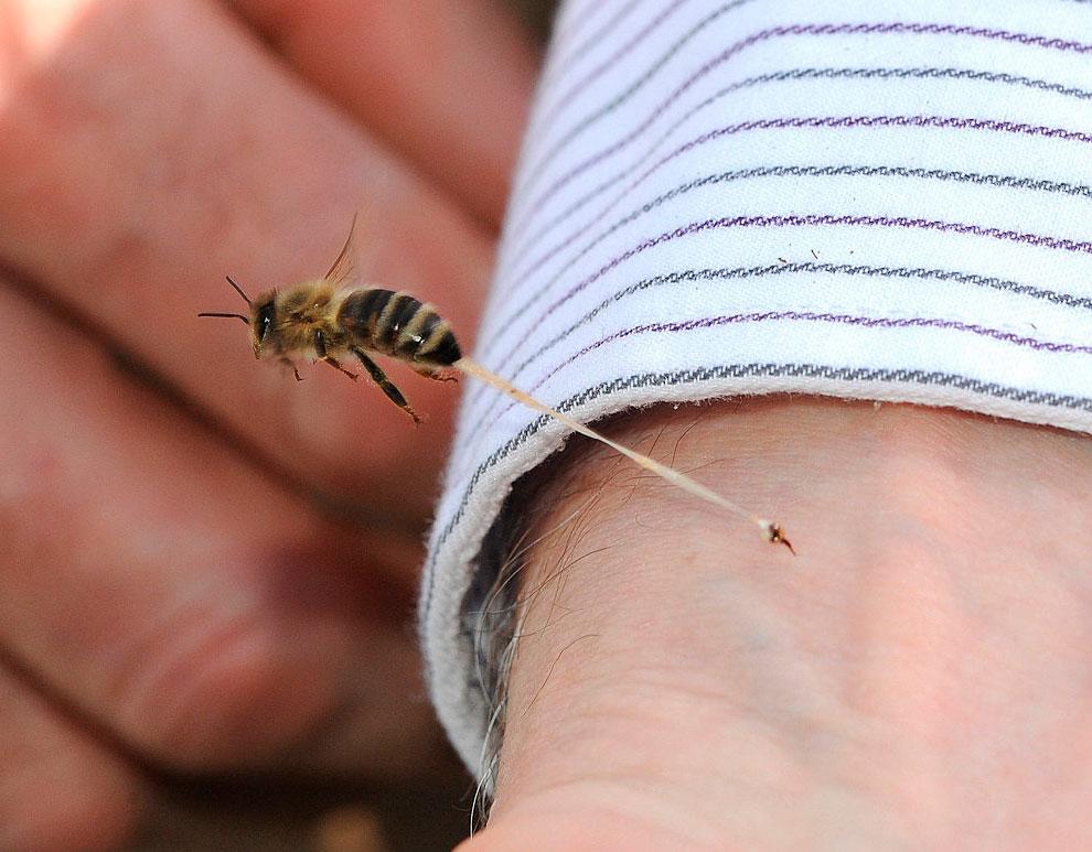Укус пчелы как действует яд и как помочь при укусе