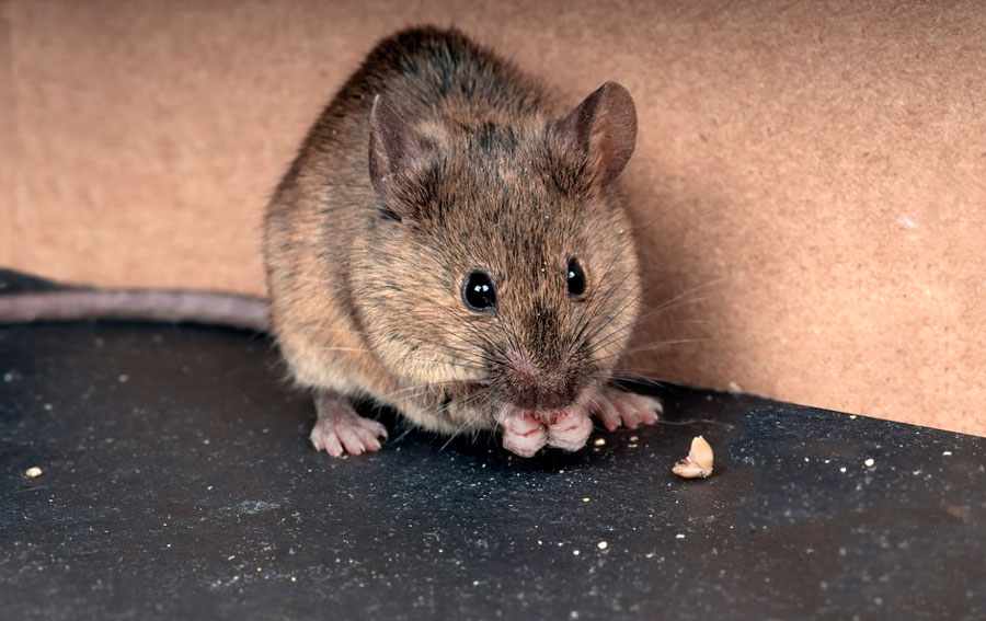 Как поймать мышь в квартире: самодельные мышеловки