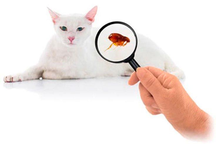 Как определить, что у кошки появились блохи
