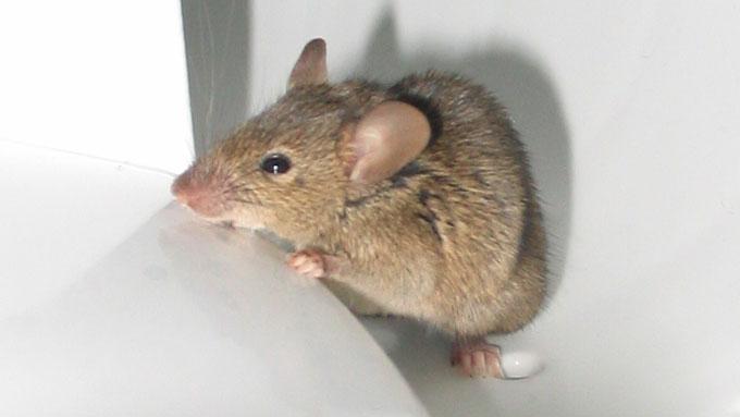 Как предупредить появление мышей в доме