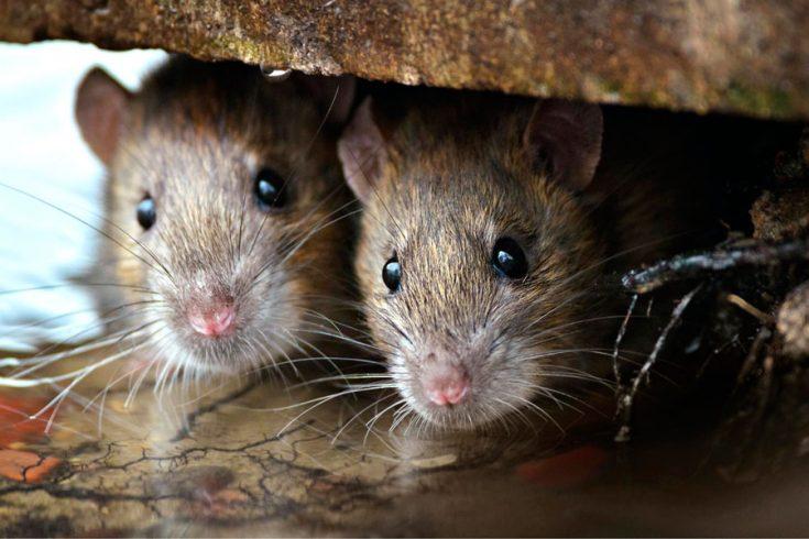 Как защитить жилище от проникновения мышей