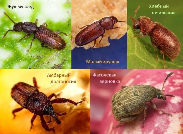 Какие виды жуков заводятся в купах