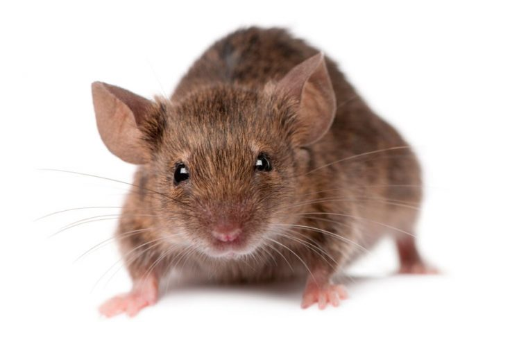 Мыши в доме