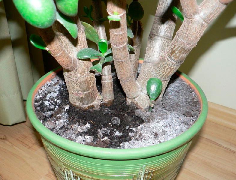 Белая плесень на листьях комнатных растений