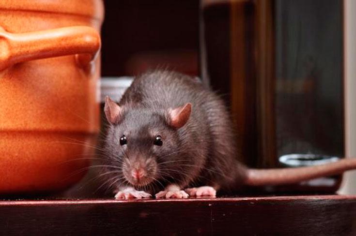 как потравить крыс в частном доме