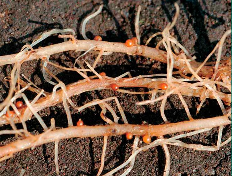 Кто такие нематоды и как бороться с вредителем Спасение растений