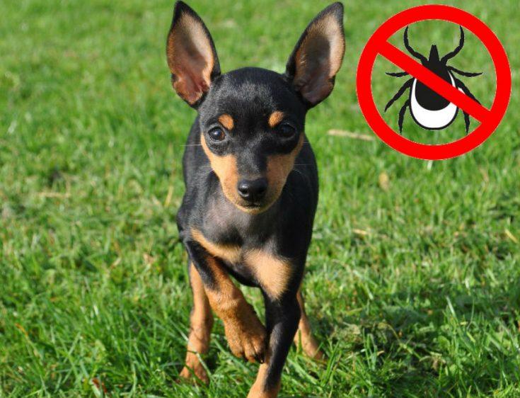 Как лучше защитить собаку от нападения клеща