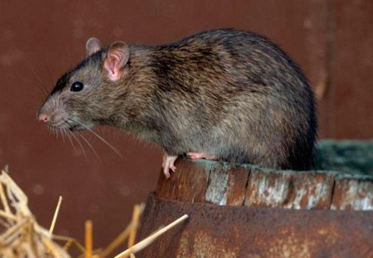 земляные крысы на даче как избавиться