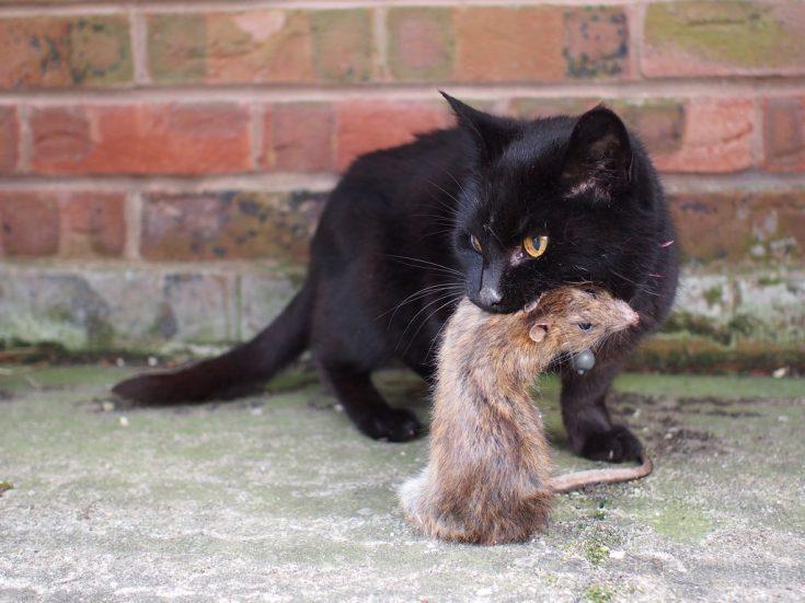 Биологические способы борьбы с крысами
