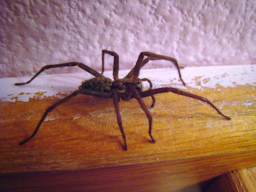 Белые пауки в доме