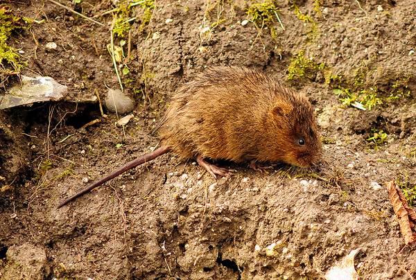Чем опасна земляная крыса