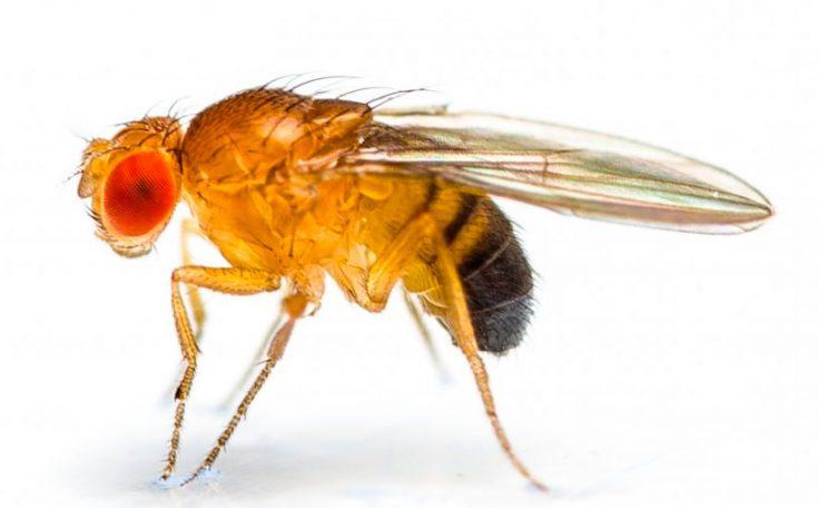Чем отличается муха дрозофила