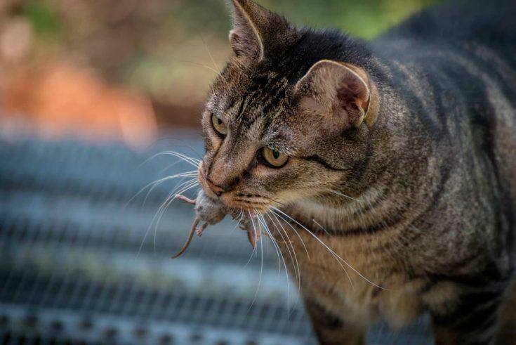 Коты в борьбе с мышами