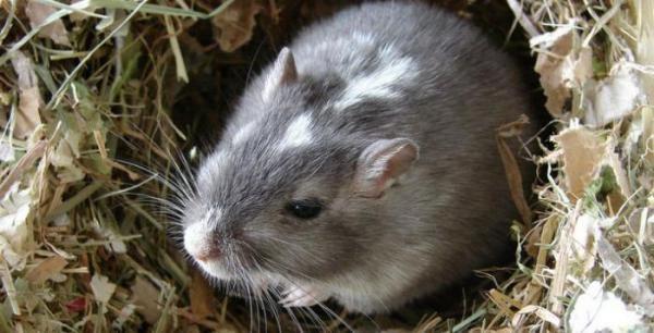 Эффективные методы борьбы с земляной крысой