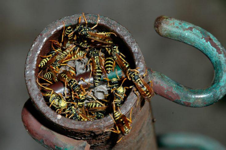 Где осы могут обитать в доме