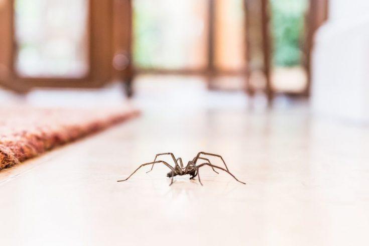 Виды пауков, поселяющихся в жилье человека