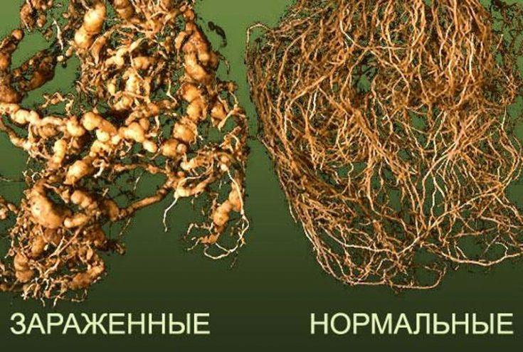 Как определить наличие в земле нематоды