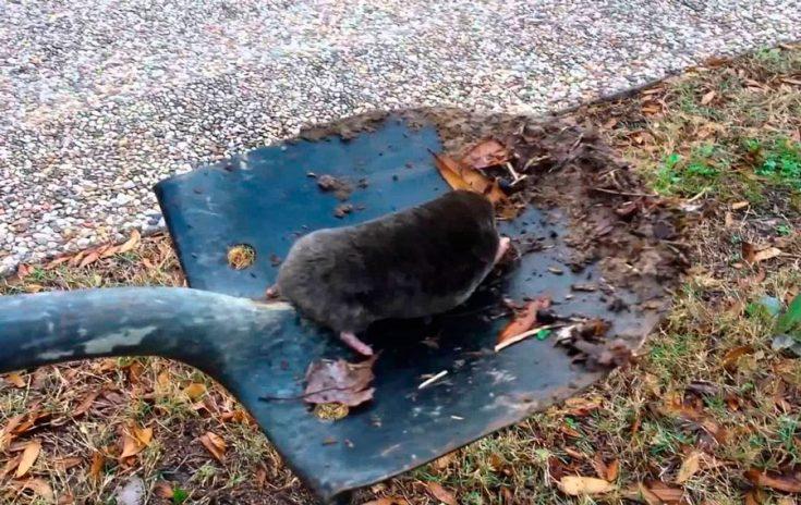 Как поймать крота с помощью лопаты