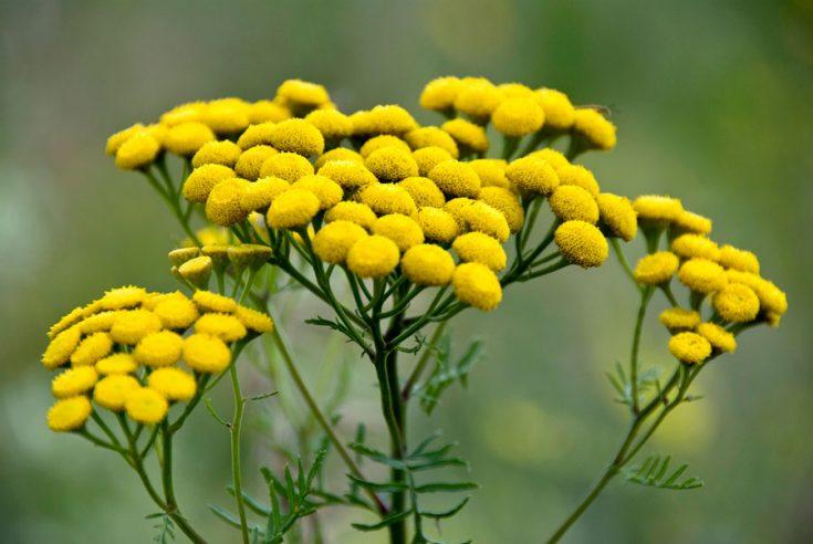 Растения от вшей