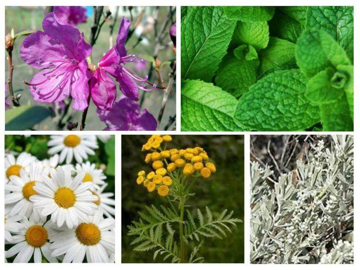 Применение сильно пахнущих растений