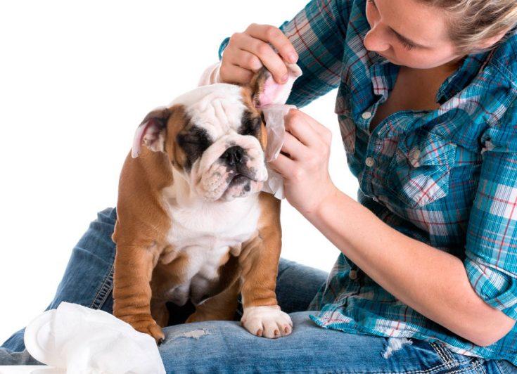 Как вытащить ушного клеща