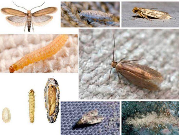 Личинки моли: описание