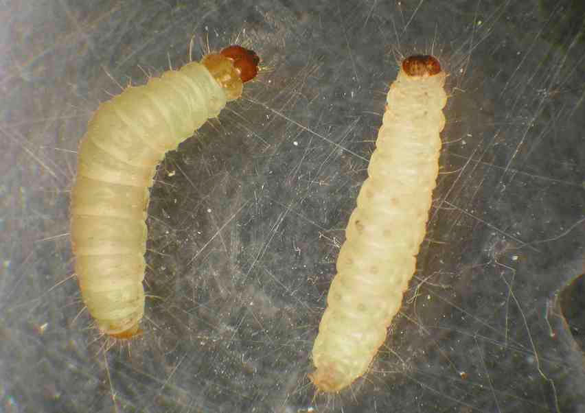Личинки моли (фото) и как с ними бороться