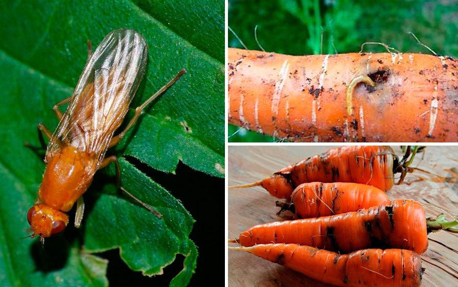 Как избавиться от морковной мухи: методы уничтожения