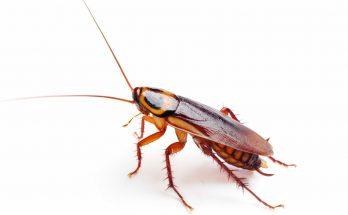 Прусаки (Рыжие тараканы)