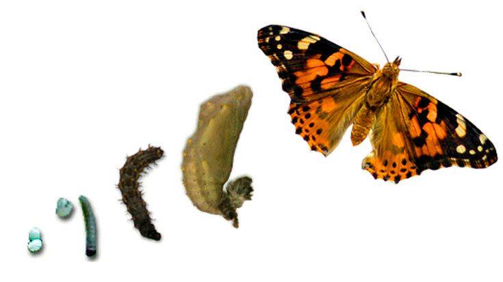 Личинка бабочки