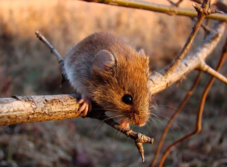 Как бороться с мышами полевками