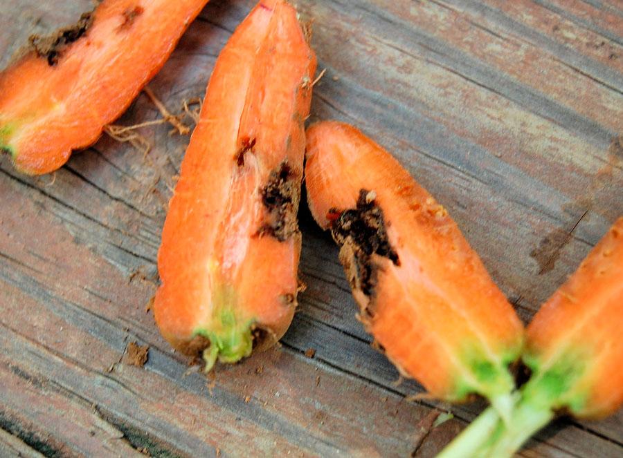 Болезни и вредители моркови и борьба с ними