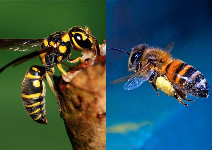 отличие пчелы от осы