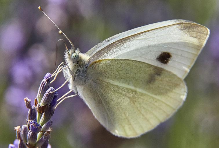 Картинка с бабочкой капустницей, рисунки