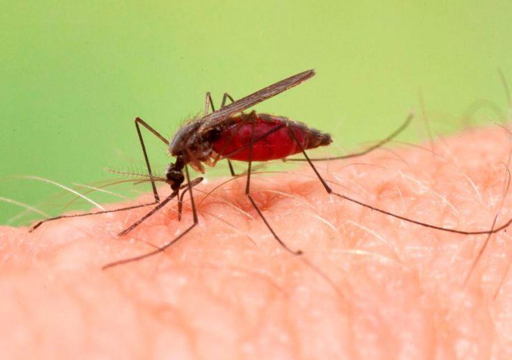 Чем опасен малярийный комар для человека