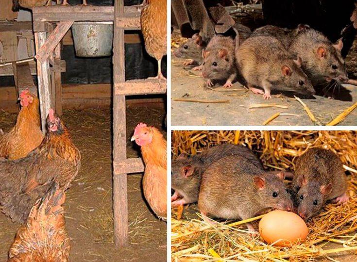 Как избавиться от крыс при помощи химикатов