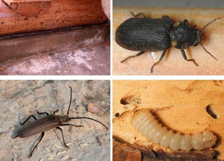 Как избавится от жука-усача с помощью химикатов