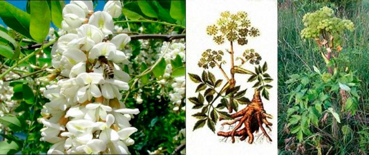 Мазь из белой черёмухи и корня дудника