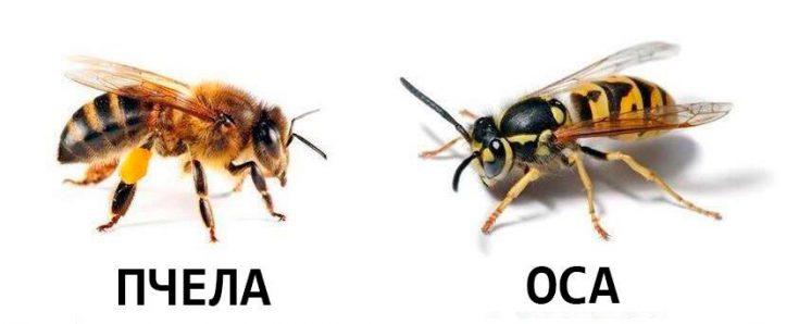 Как отличить пчел от ос по внешнему виду
