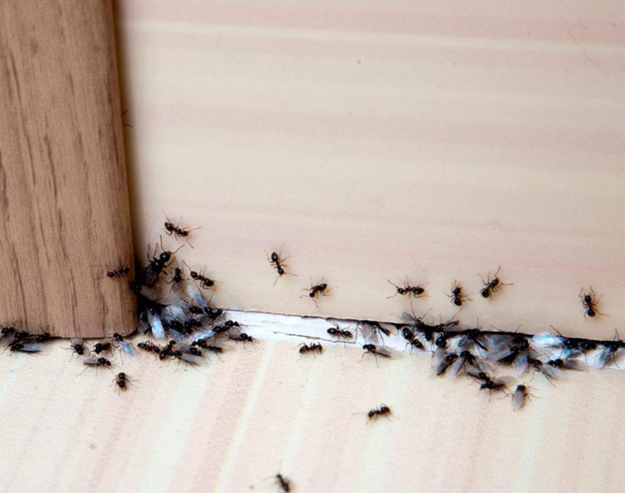 Средства для борьбы с муравьями в доме