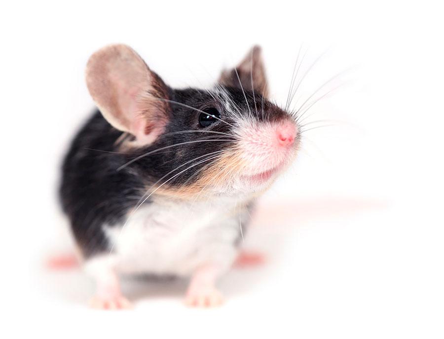 Мышка с полосой на спине как называется