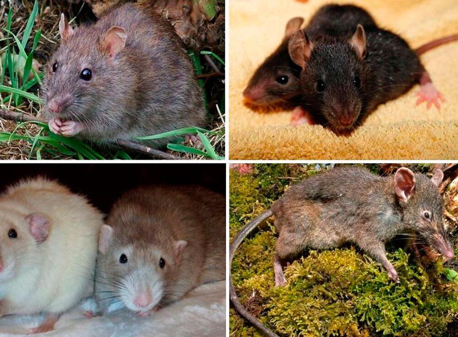 Большая домашняя крыса как называется
