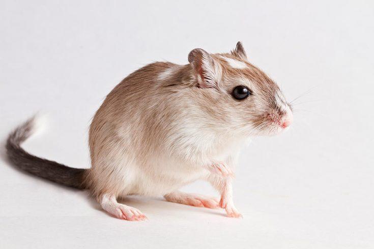 Мышь Песчанка