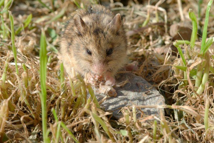 Мышь степная