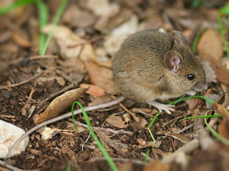 Размеры мышей