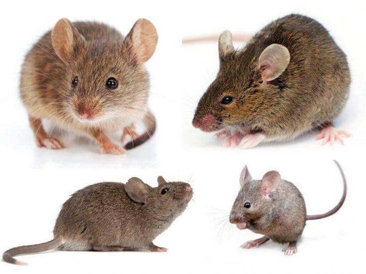 Отряд «мышиные»
