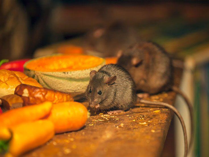 Рацион питания мышей