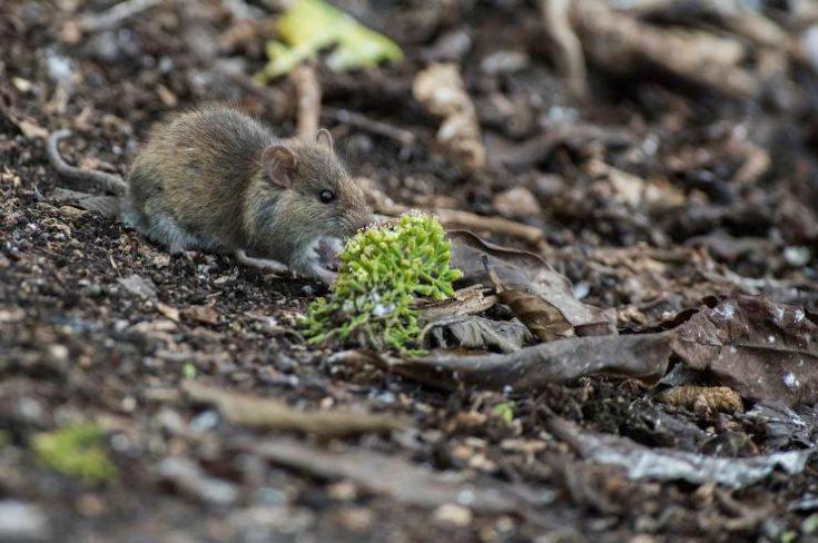 Малая крыса